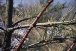 Pine Abrasive Damage KCES