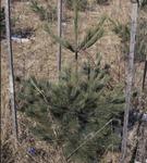Pine Enclosure KCES
