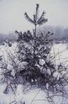 KCES-Pines-Rose Growing Around Tree