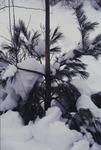 KCES-Pines Deer scraping damage