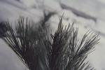 KCES Nipped Bud of Pine