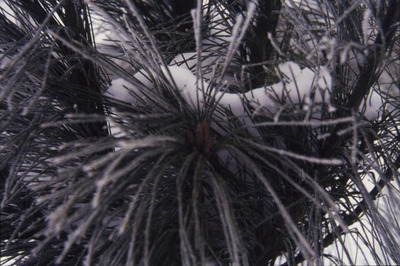 Intact End Bud of Pine