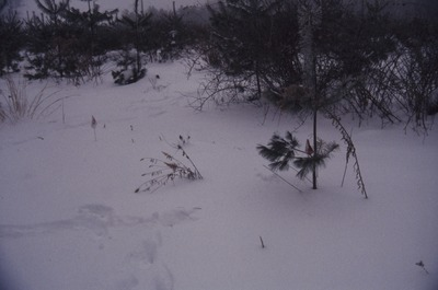 KCES-Pines deer track to tree in snow