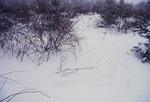 KCES Deer tracks around rose