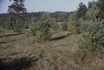 "KCES Pine Plantation ""double"" mowing 15' spacing"