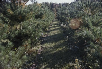 KCES Pine Plantation single direction mow 10' spacing