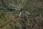 KCES Pine Sawfly Damage