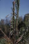 KCES Pine lowfly damage on leader