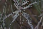 KCES Pine Sawflies