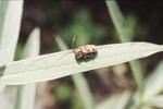 Millweed Longhorn Beetle KCES