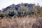 Pine Plantation Edges