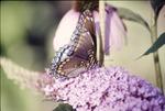 Purple-On Buddleia