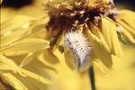 Caterpillar on Gloriosa daisy, Butterfly Garden