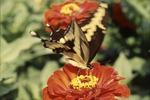 Giant Swallowtail on Zinia-feeding