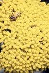 Chauliognathus on Yellow Yarrow