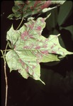 Maple Leaf with Red Pigment Deposits Cook Co.