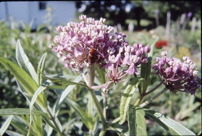 Asclepias with Beetle
