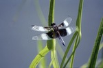 Widow Darner on Arrowhead Grass