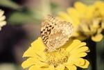 Fritillary (spangled) KCES-Daisy