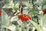 Giant Swallowtail on Zinia