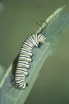 Monarch late Instar Feeding