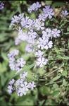 BFEC Flowers-Phlox