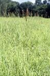 BFEC prairie Eastern Gamma Grass