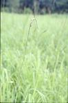 BFEC Gamma Grass