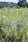Compass Plant Prairie