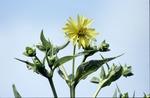 Silphium Perfoliatum Cup Plant asteraceae,. Knox Co. Ohhio