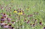 Prairie Grass, Purple Coneflower, Grey Headed Coneflower