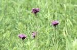 Western Ironweed Vernonia Fasciculata