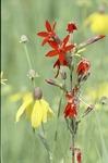 Royal Catchfly (Wild Pink) Silene Regia