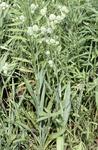 Eryngium Yuccifolium Plant