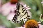 Tiger Swallowtail on Echinacea