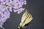 Yauger Road Tiger Swallowtail on Butterfly Bush