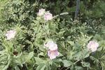 Rosa Flowers KCES Pines