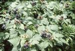 Blackberries KCES