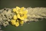 BFEC Mullein Flowers