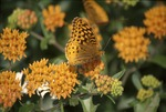 BFEC-Great Spangled Fritillary on Asclepias