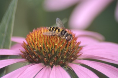 Yauger Road Syrphid Flower fly on Purple Coneflower