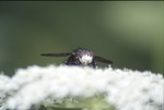 Yauger Road Tachinid Fly on Queen Ann's Lace
