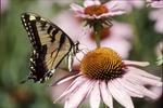 Swallowtail on Echinacea