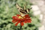 Great Swallowtail KCES