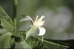 BFEC Plants: Trillium Flexipes along Kokosing River