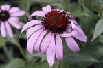 Bombas and Purple Coneflower Yauger Road