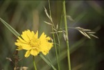 Coreopsis and Grass
