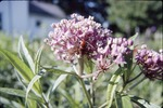 KCES-Asclepias and Beetle Garden