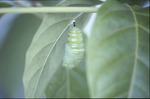 Monarch Chrysalis 4 Min Close