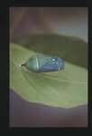 Monarch Chrystalis Dark Green